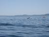 080816_orcas01.jpg