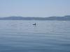 080816_orcas03.jpg