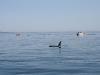 080816_orcas05.jpg