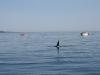 080816_orcas07.jpg