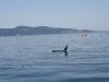 080816_orcas10.jpg