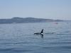 080816_orcas11.jpg