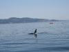 080816_orcas12.jpg