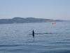 080816_orcas14.jpg
