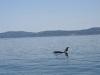 080816_orcas15.jpg