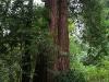 080830_redwoods06.jpg