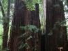 080830_redwoods07.jpg