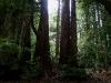 080830_redwoods09.jpg