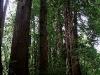 080830_redwoods10.jpg