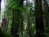 080830_redwoods11.jpg