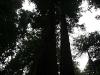 080830_redwoods12.jpg