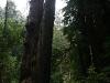 080830_redwoods13.jpg