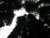 080830_redwoods15.jpg