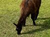 Llama at Ingapirca