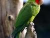 Scarlett fronted parakeet