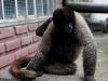 Wooley monkey Sambo