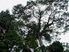 Ceiba tree - king of the jungle