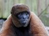 Wooley monkey Milton