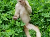White capuchin Peter