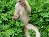 White capuchin Peter
