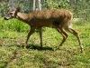110115_panama_deer02