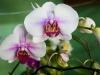 110118_orchids09