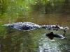 110122_crocodil_puerto_jiminez08