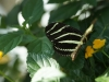 110205_butterflygarden_key_west13