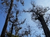 110209_senetor_tree04