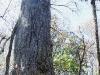 110209_senetor_tree14