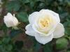 110215_rose_garden02