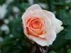 110215_rose_garden03