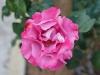 110215_rose_garden06