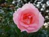 110215_rose_garden09