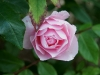 110215_rose_garden10