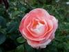 110215_rose_garden11