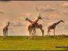 © Christian Palaypayon - Giraffes