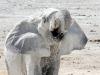 © Yagoda Ruzic - Thirsty elephant
