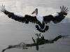 © Earth 'Scape Photographics, Graeme Hosking - Australian Pelican