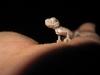 © Bishoy Adel Zakaria - Crested Gecko Lizard