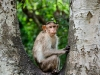 © Vignesh Babu - Rhesus Monkey