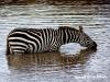© Christa Roehricht - Zebra Masai Mara/Kenya