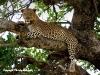 © Christa Roehricht - Leopard