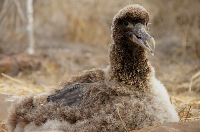 Albatros chick at Espanola Island